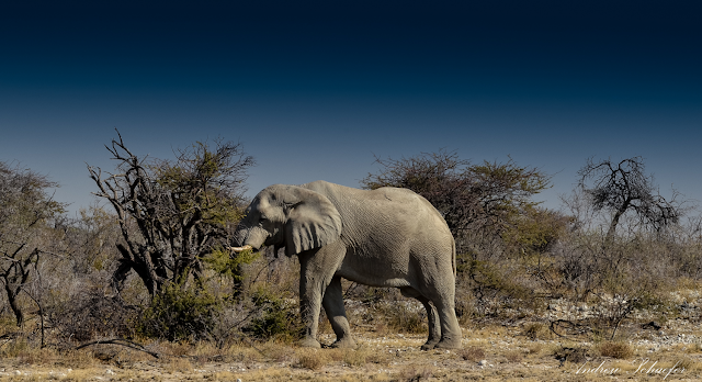 Desert elephants pass on knowledge - not mutations - to survive