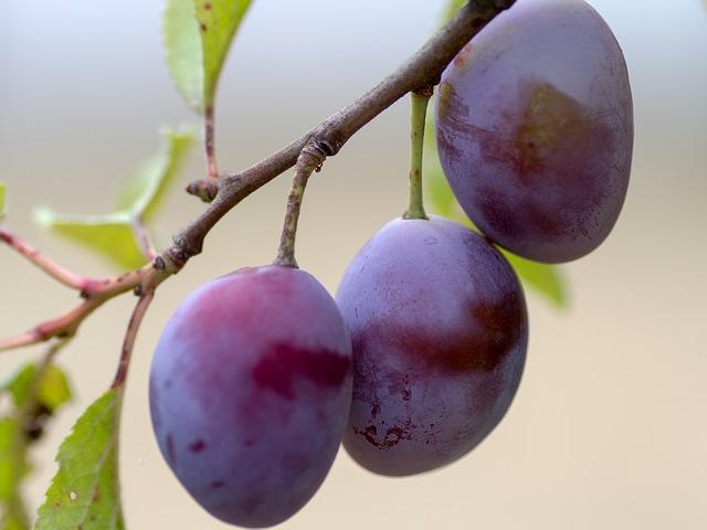 asal usul buah plum dan manfaatnya