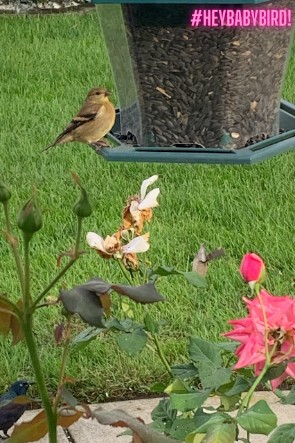 what food and feeder brings american goldfinch