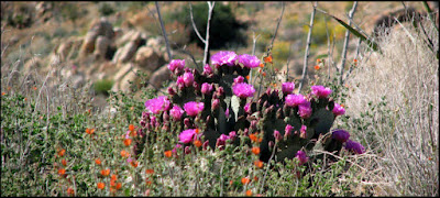 beavertail,cactus,flowers,blooms,magenta,pink,desert,Mojave,Pioneertown Mountains Preserve,CA,California