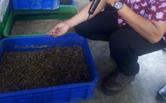 Menghancurkan Sampah Dengan Ulat Menghaslkan Pupuk Organic Berkualitas Tinggi