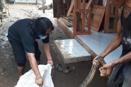 Sanca 3,5 meter di tangkap warga saat banjir di Pasuruan
