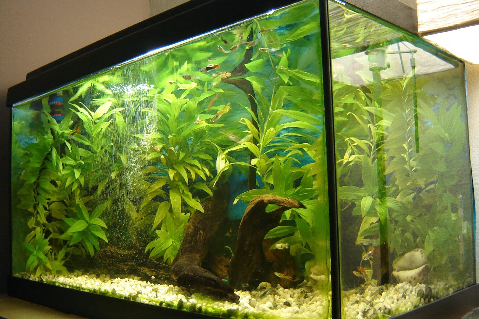 Mi acuario de guppys for Calentador acuario