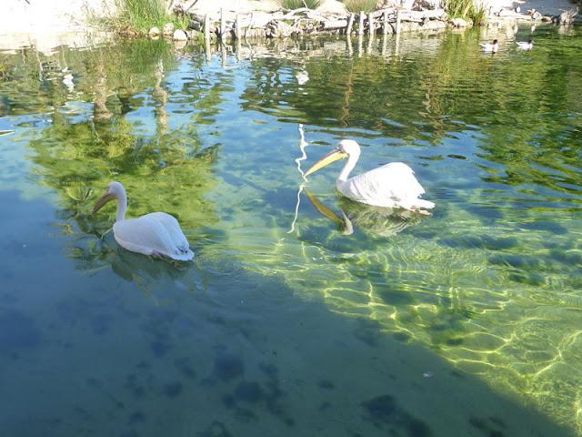 pellicani nel parco marino di valencia