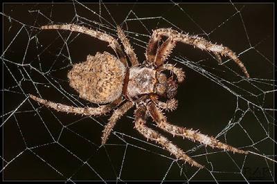 Araña tejedora parda (Parawixia audax)