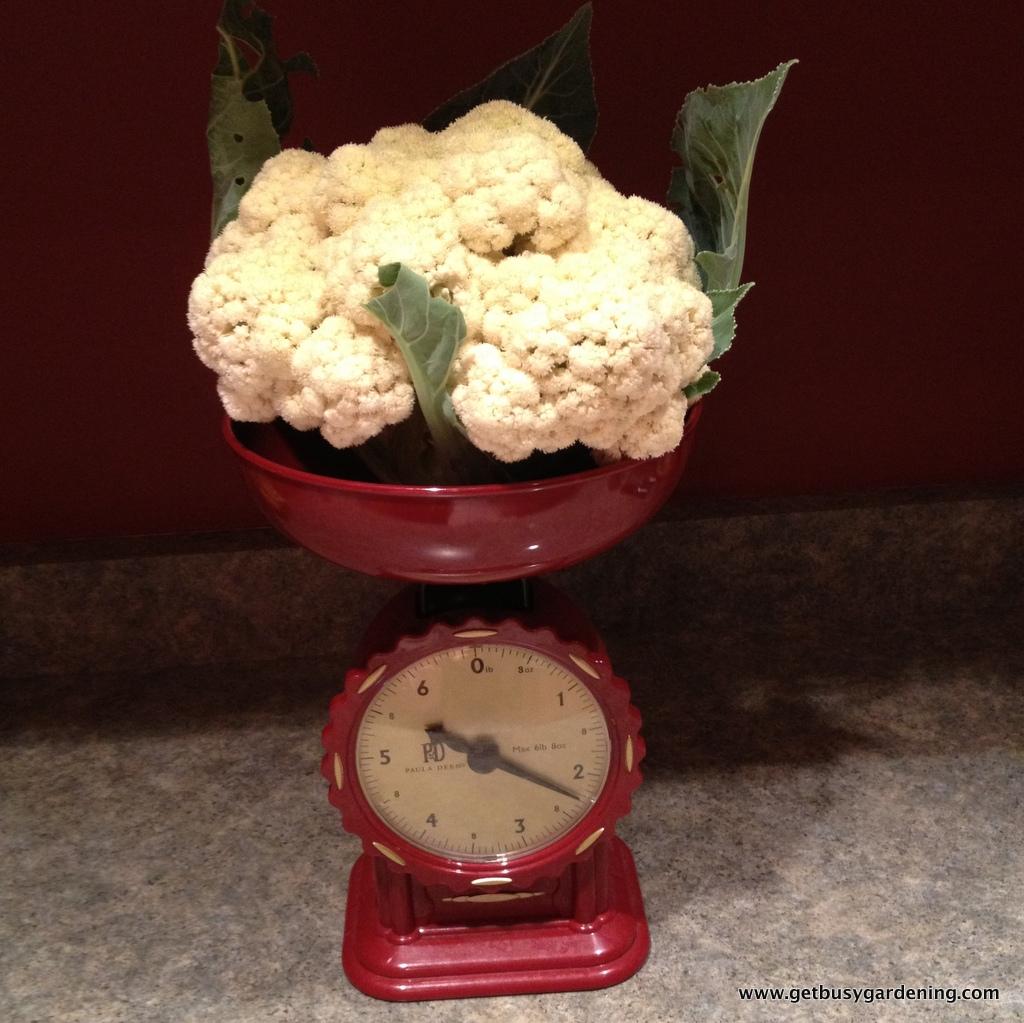 Cauliflower harvest