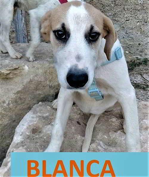 mestizos beagle