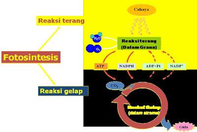 Reaksi Terang dan Reaksi Gelap Fotosintesis