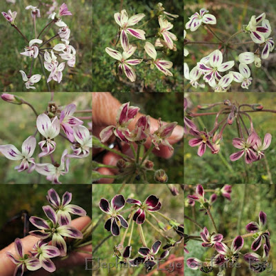 Pelargonium triste Rondebosch Common