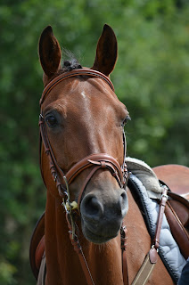 A bay horse wearing tack looking behind the camera with trees in the background