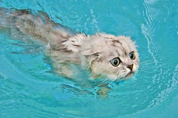 Can Cats Swim? [Or Not?]