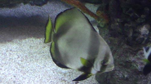 Round Batfish