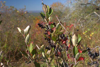 Black chokeberries at the Half-Way House site