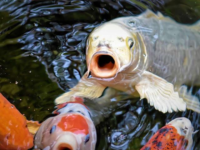 7 Perbedaan Antara Ikan Koi Lokal Dan Ikan Koi Impor Arafuru