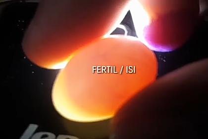 Cara Mudah Mengecek Telur (Egg Candling) Pada Lovebird