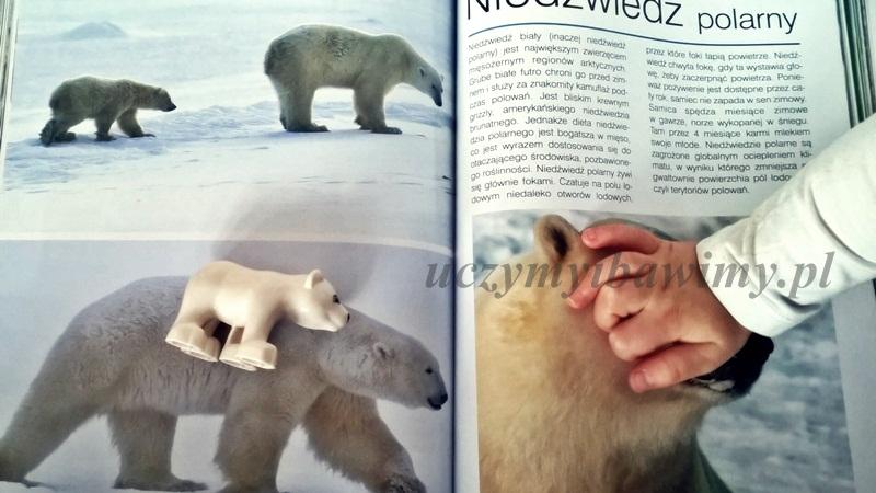 Niedźwiedź polarny - uczymy dziecko