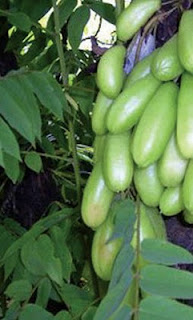 Cucumber tree Benefits to Your Health