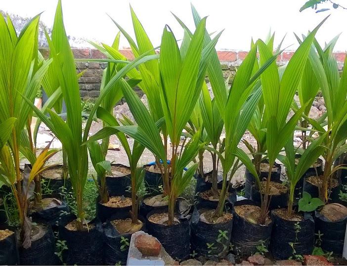 Bibit kelapa pandan wangi thailand asli import 100 Bali