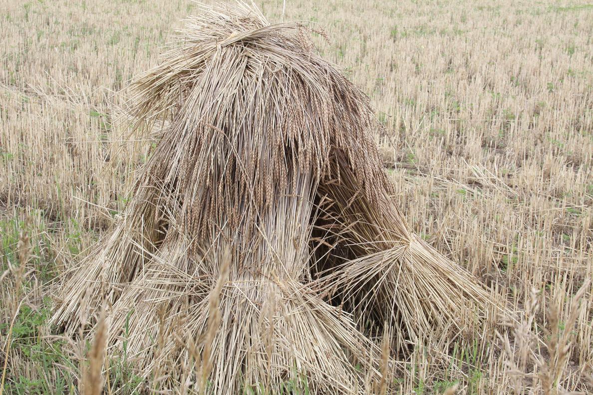 michigan exposures wheat sheaves