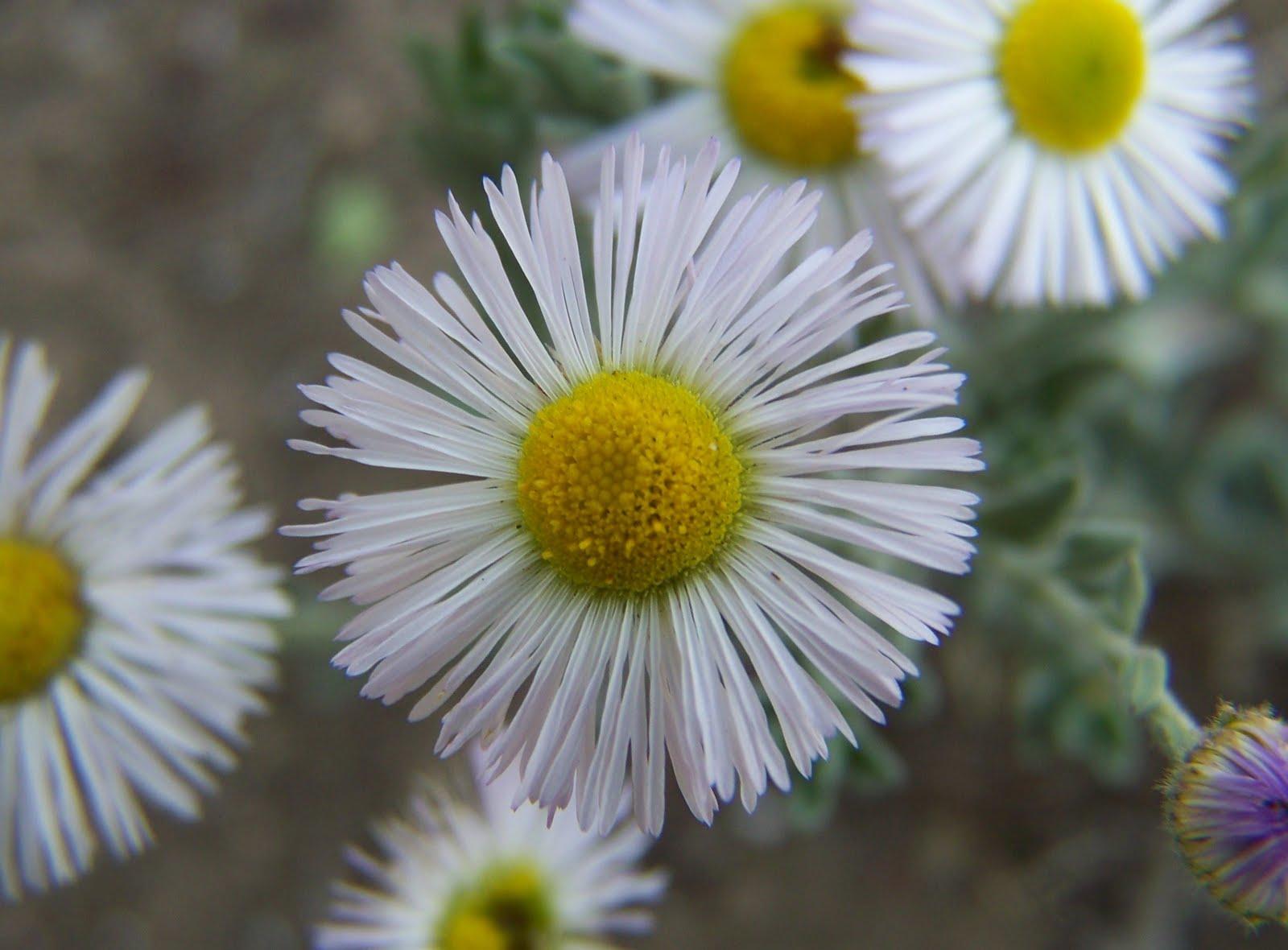Gardening and Flowers: White Daisy Flower