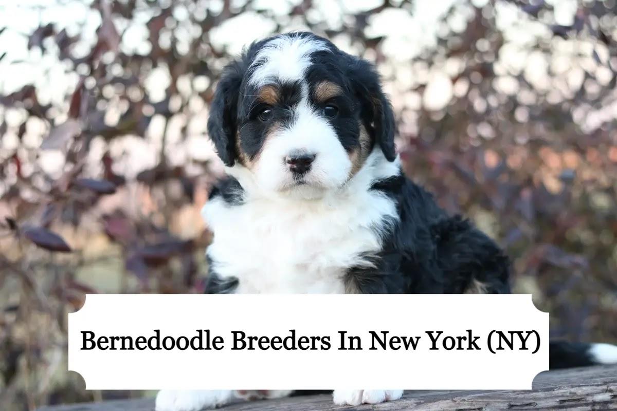 Bernedoodle-breeders-in-new-york