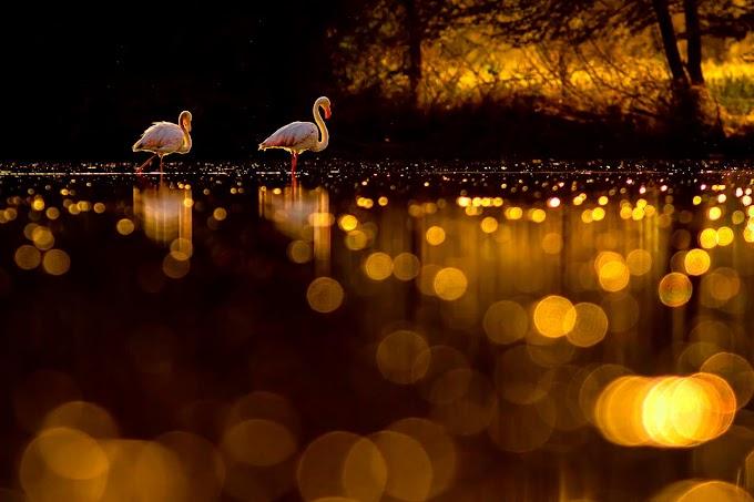 Bokehlliceous evening Greater flamingo