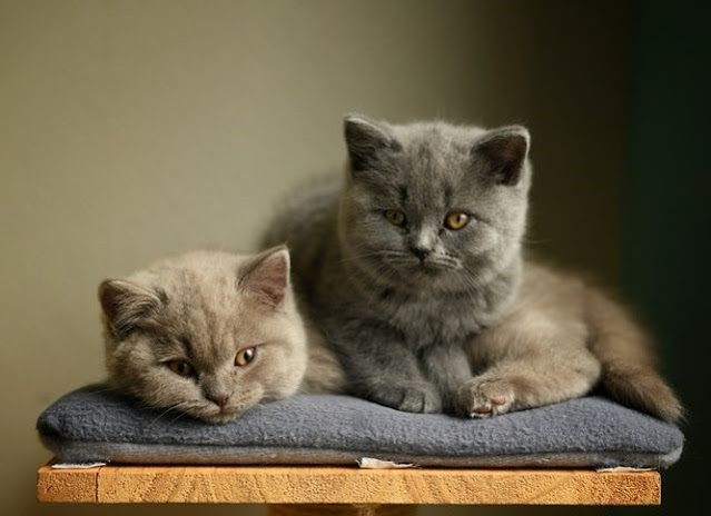 Gambar kucing british shorthair