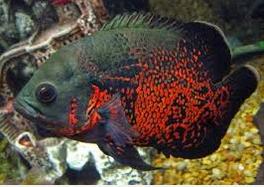 Ikan Hias Air Tawar Termahal Anakan Oscar