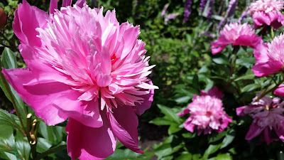 """What I like to think of as """"full pink"""" peony"""