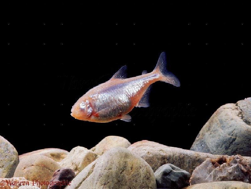 Gambar Ikan Mata Buta