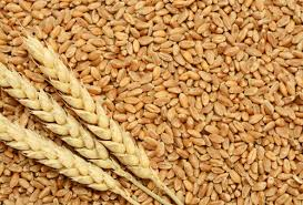 Wheat arrival in Punjabs Mandi