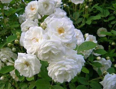 bunga mawar warna putih