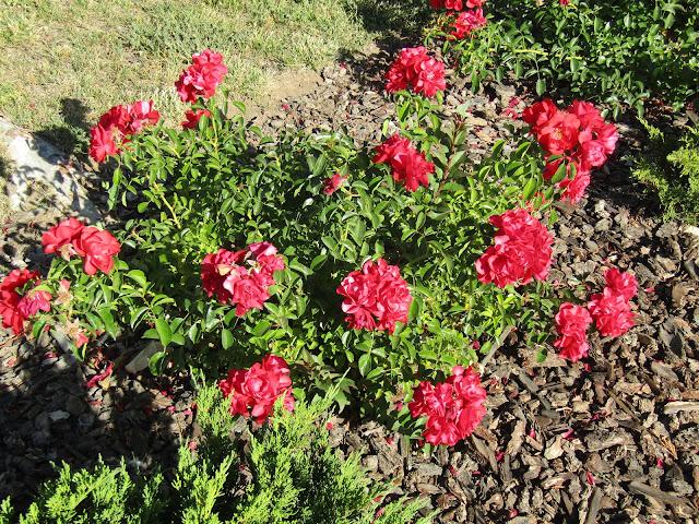 A Red Rose Bush in Neighbors Yard