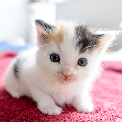 tortoiseshell and white kitten