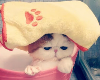 Cara Memandikan Kucing Persia yang Baik dan Benar