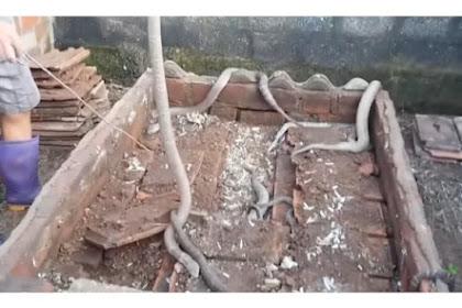 Ngeri, Ada Puluhan King Kobra Mematikan di Bawah Genteng