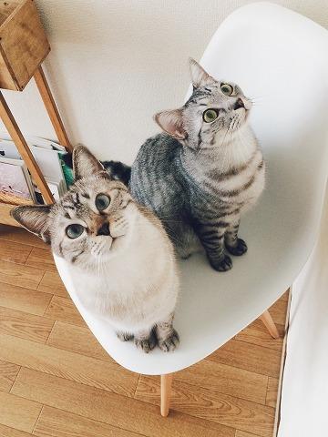 椅子の上に並んで座って上を見上げているサバトラ猫とシャムトラ猫