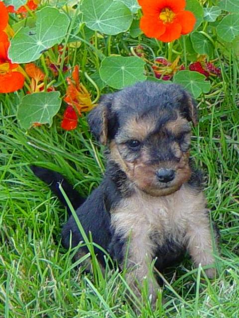 Lakeland Terrier Dog Puppies
