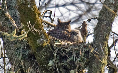 Photo of Great Horned Owl and chick in old hawk or crow nest in ash trees