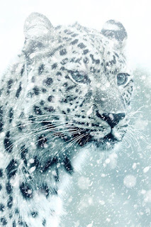 صور فهد , أجمل صور حيوان النمر مع بعض المعلومات عنه