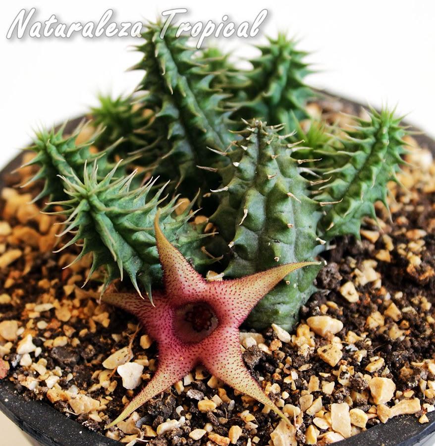 Un representante de las populares plantas del género Huernia