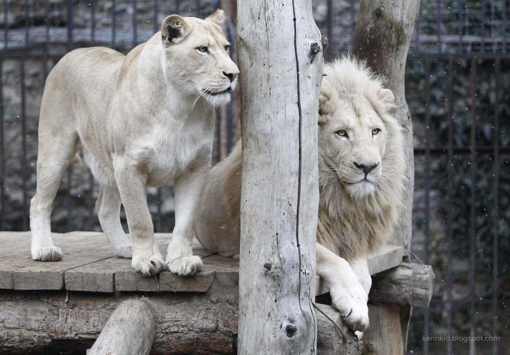 Sư tử bạch tạng trong sở thú