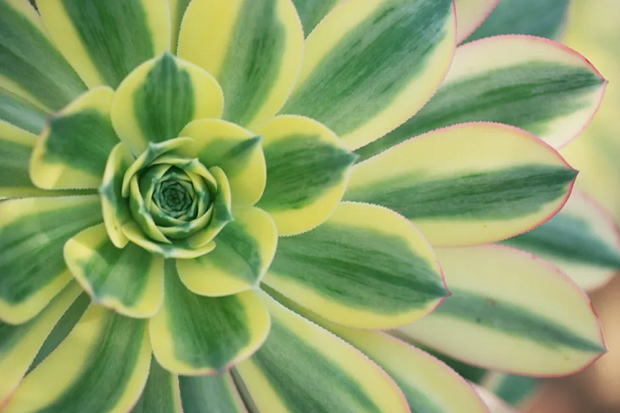 Aeonium, Sukulen Cantik Mirip Bunga Mawar