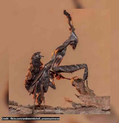 Ghost mantis (Phyllocrania paradoxa)