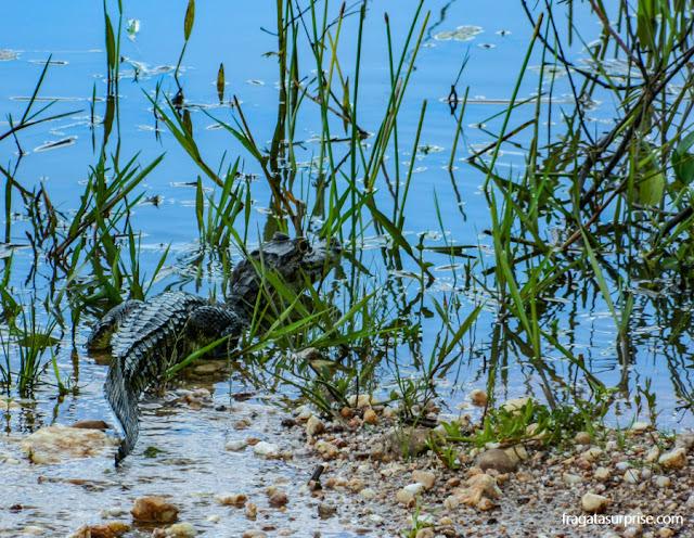 Férias de julho Brasil - filhote de jacaré no Pantanal do Mato Grosso