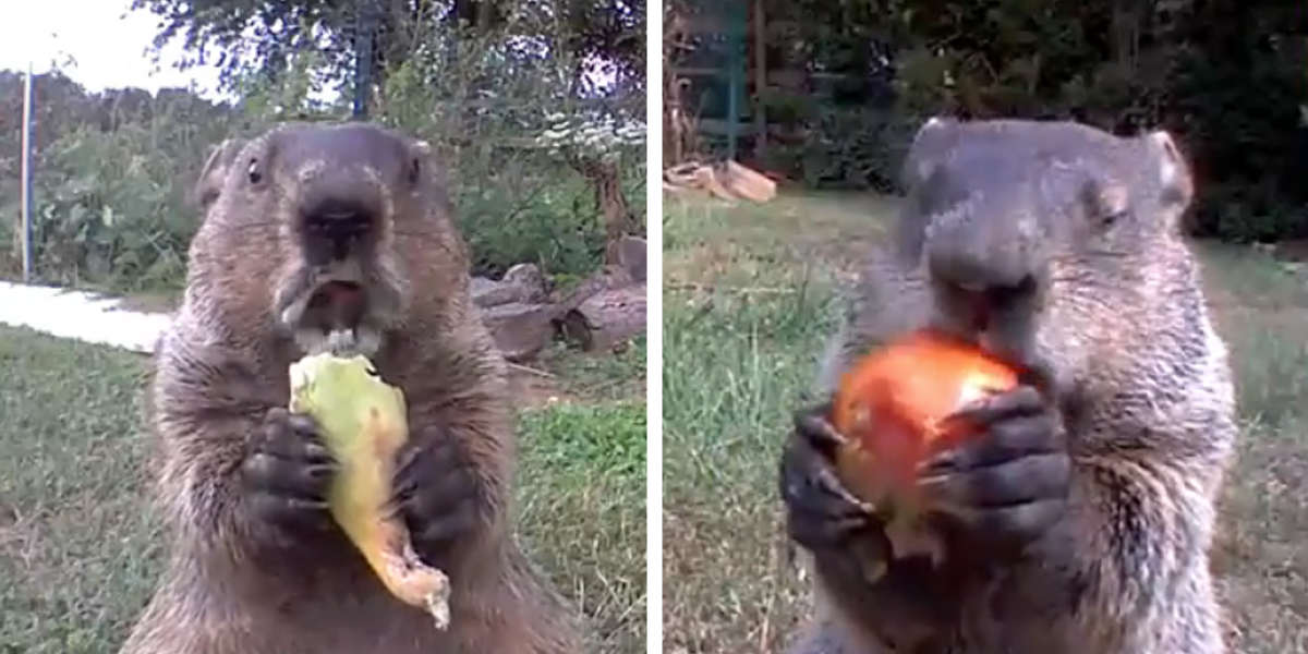 Gardener Finally Discovered The Adorable Thief That's Been Stealing His Vegetables