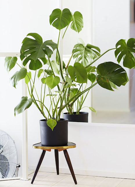 roślina domowa | monstera | filodendron