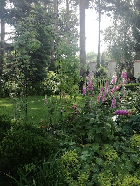 ogród Tamaryszka, naparstnice