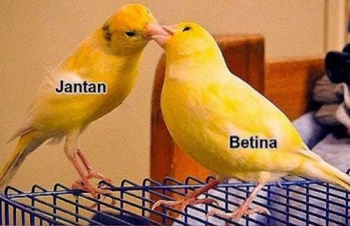 Burung Kenari Jantan dan Betina