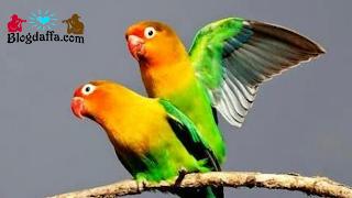 Proses Perkawinan Lovebird